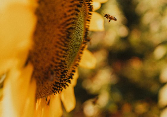 yellow sunflower in tilt shift lens